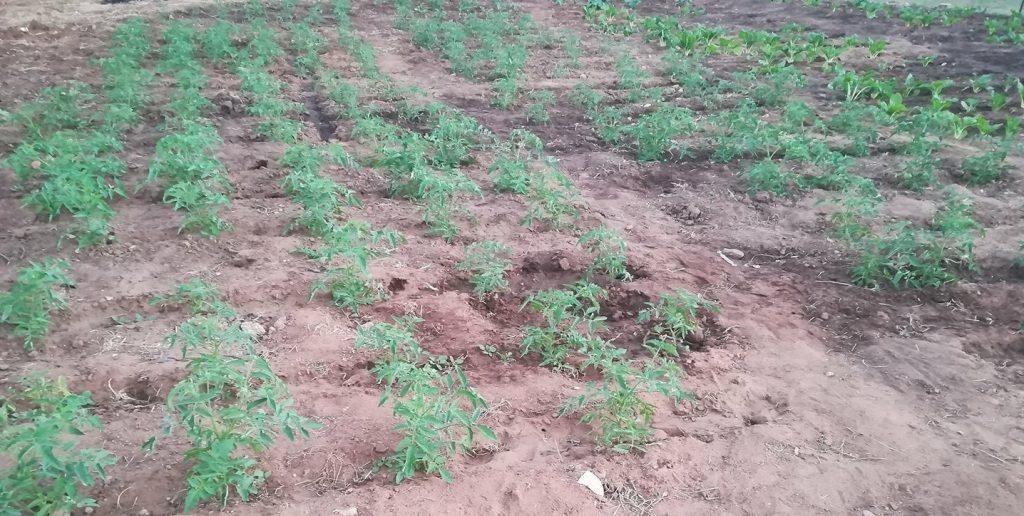 exp_farm_tomatoes